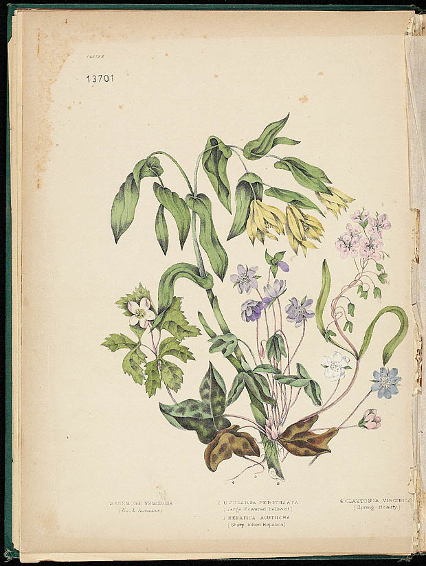Water colour, ANEMONE AND BELLWORT, by Agnes FitzGibbon from book, CANADIAN WILD FLOWERS, by Catharine Parr Traill. First edition, Montreal: J. Lovell, 1868