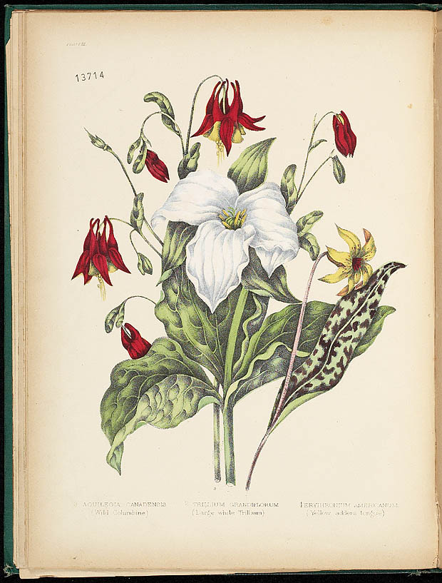 Water colour, TRILLIUM AND COLUMBINE, by Agnes FitzGibbon from book, CANADIAN WILD FLOWERS, by Catharine Parr Traill. First edition, Montreal: J. Lovell, 1868