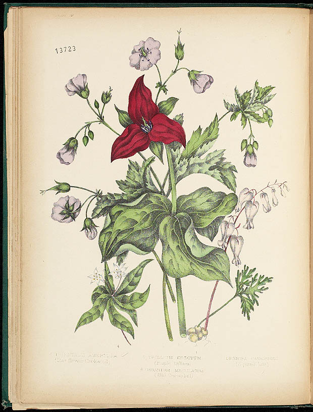 Archived Canadian Wild Flowers Susanna Moodie And
