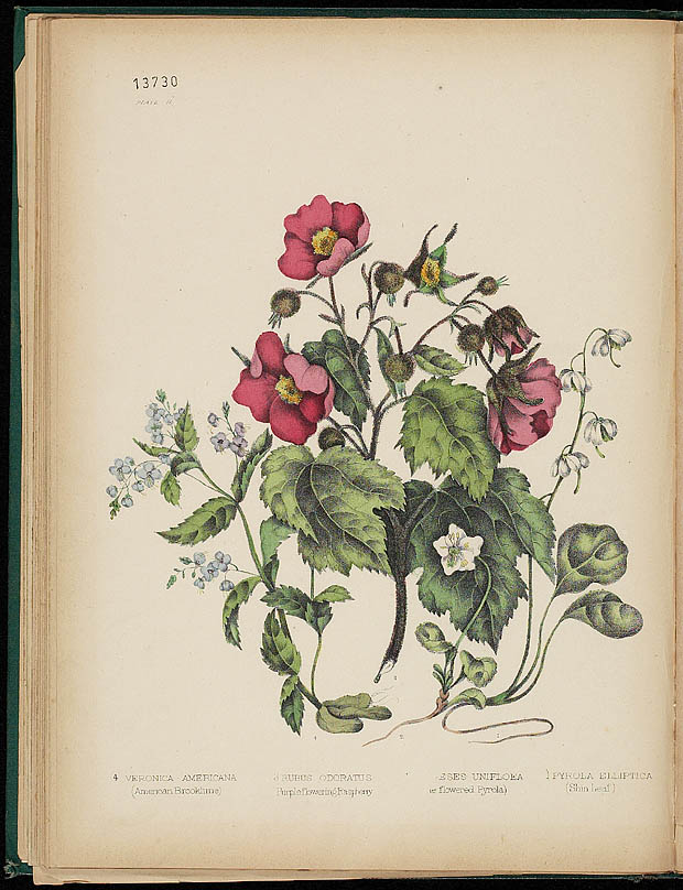 Water colour, FLOWERING RASPBERRY, by Agnes FitzGibbon from book, CANADIAN WILD FLOWERS, by Catharine Parr Traill. First edition, Montreal: J. Lovell, 1868