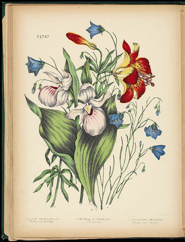 Water colour, LADY'S SLIPPER AND HAREBELL, by Agnes FitzGibbon from book, CANADIAN WILD FLOWERS, by Catharine Parr Traill. First edition, Montreal: J. Lovell, 1868