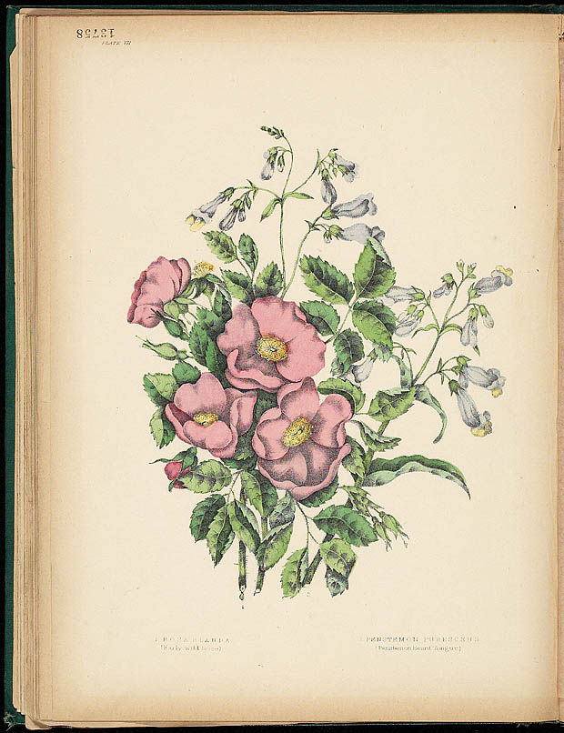 Water colour, WILD ROSE, by Agnes FitzGibbon from book, CANADIAN WILD FLOWERS, by Catharine Parr Traill. First edition, Montreal: J. Lovell, 1868