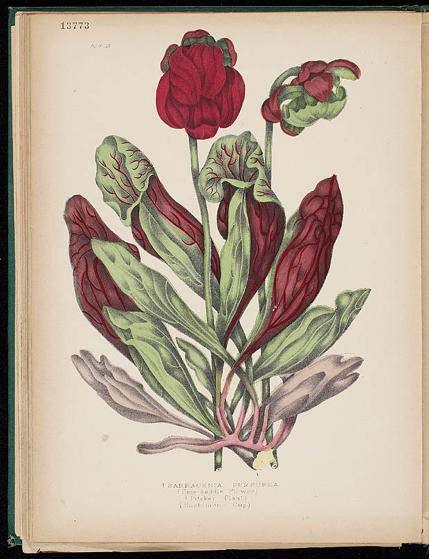 Water colour, PITCHER PLANT, by Agnes FitzGibbon from book, CANADIAN WILD FLOWERS, by Catharine Parr Traill. First edition, Montreal: J. Lovell, 1868