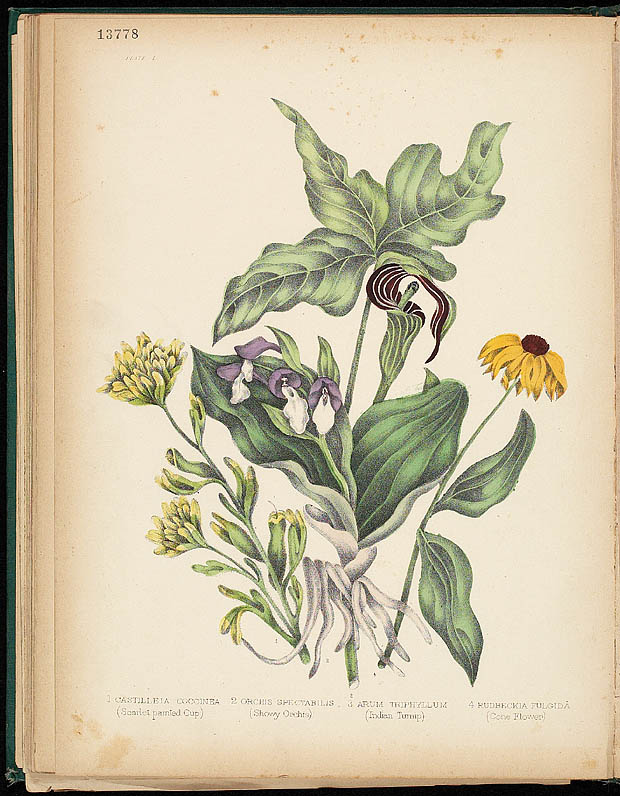 Water colour, ORCHIS AND CONEFLOWER, by Agnes FitzGibbon from book, CANADIAN WILD FLOWERS, by Catharine Parr Traill. First edition, Montreal: J. Lovell, 1868