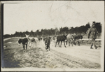Photograph of a man leading animals, Verdun, France, August 1916